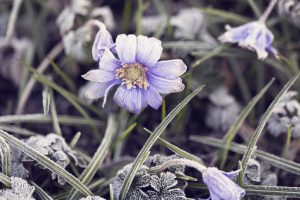 Anemone flower covered with hoarfrost in spring
