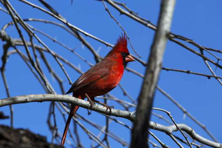 Northern cardinal seen in Choke Canyon State Park in Three Rivers, TX